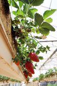 foto of greenhouse  - Hanging method of growing strawberries in greenhouses - JPG