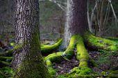 foto of conifers  - Close up of trunk of conifer tree in wilderness area in Scandinavia - JPG
