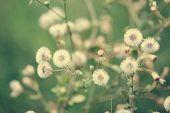 stock photo of dandelion  - Beautiful white dandelion flowers close - JPG