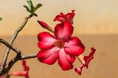 picture of desert-rose  - Beautiful pink azalea flowers tropical flowers - JPG