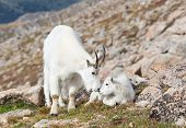stock photo of baby goat  - Mother and baby mountain goats in nature - JPG