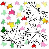 image of canada maple leaf  - Maple leaves on a white background - JPG