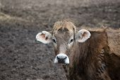 stock photo of moo-cow  - Jersey cow standing in the muddy pasture - JPG