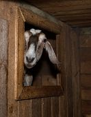 pic of nubian  - Nubian nice  brown female goat in barn - JPG