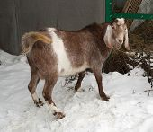 picture of nubian  - Nubian brown goat standing on white snow - JPG