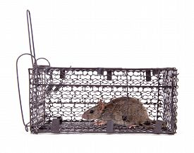 image of rats  - rat trap in front of white background - JPG