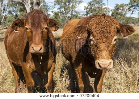 Outback Cows