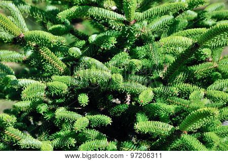 Picea glauca (white spruce). It is also known as Canadian spruce, skunk spruce, cat spruce.
