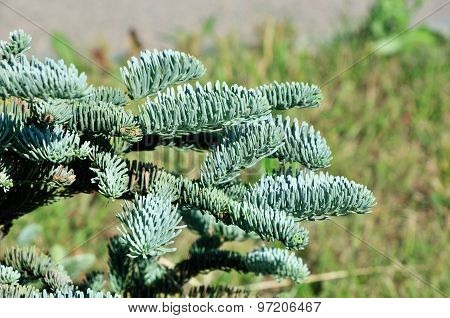 The blue spruce, green spruce, white spruce, Colorado spruce or Colorado blue spruce