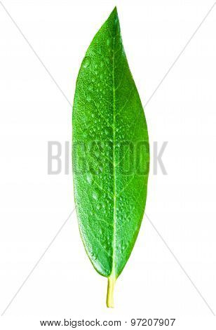 Citrus Leaves With Drops . Green Leaf Isolated Over White Background. Leaf Texture Macro