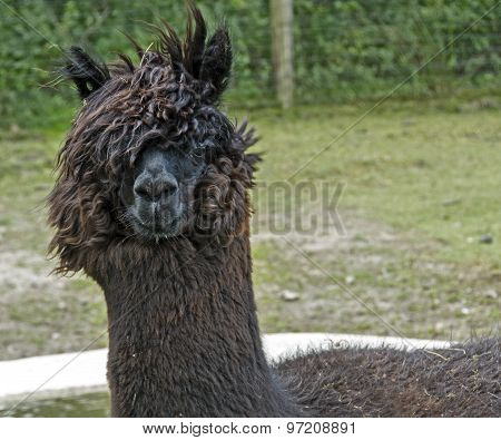 A portrait of alpaca