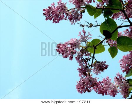 Lilacs With Blue Sky