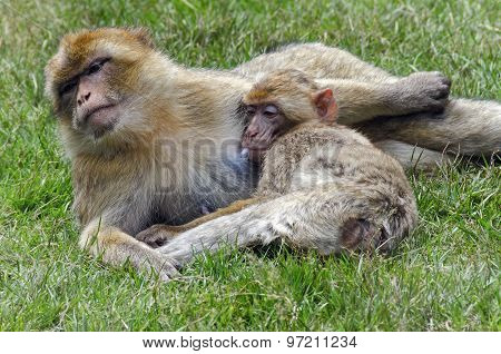 Monkey mother and her baby