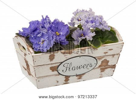 African violets (saintpolia) in the decorative wooden box isolated.