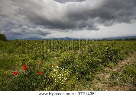 The Picturesque Landscape With Rose Field Under A Cloudy Sky. Bulgaria.