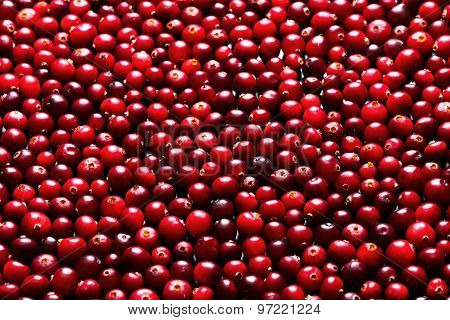 Ripe Cranberries For Background