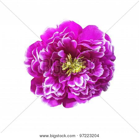 Magenta Artificial Flower Isolated
