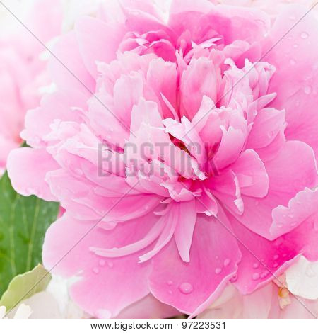 Pink Peony Blooming In The Garden.