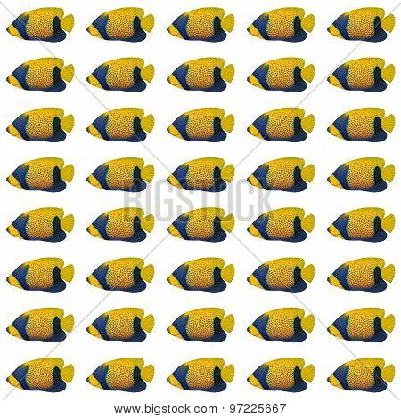 Blue-girdled Angelfish Pattern