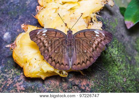 Female Banded Marquis Butterfly