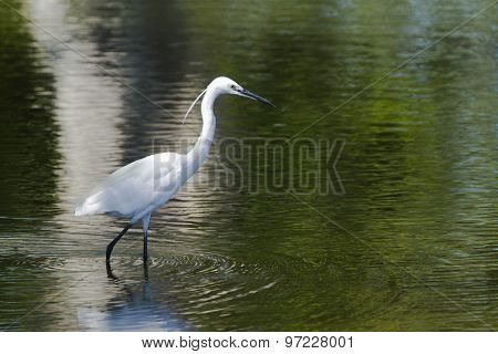 Little Egret In Pottuvil, Sri Lanka