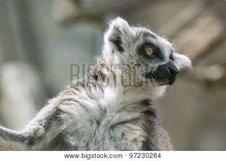 Wild Small Animal A Lemur Looks Before Himself Forward
