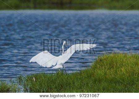 Great Egret In Pottuvil, Sri Lanka