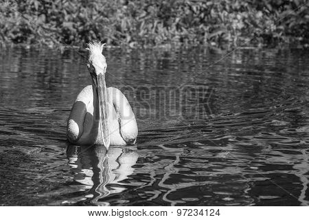 One White Pelican Floats On Water In The Monochrome Photo
