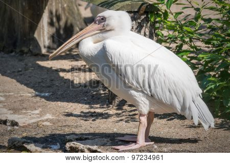 One White Pelican Standing Sideways On The Coast