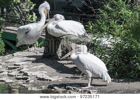 White Pelicans Stand Sideways On The Coast In Bushes