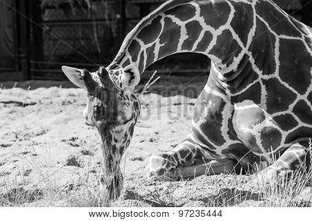 Giraffe Sits On Sand And Sleeps In Monochrome Tone