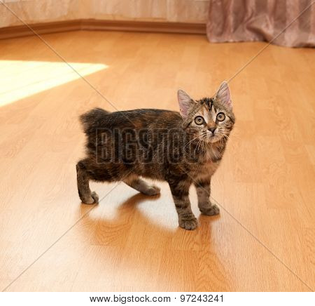 Tricolor Kitty Standing In Middle Room