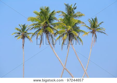 Coconuts Palm Tree Perspective View From Floor High Up In Sri Lanka.