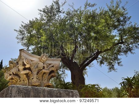 Ancient Corinthian Columns And Very Old Olive Tree, Jerusalem, Israel