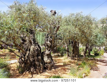 Old Olive Trees In Garden Of Gethsemane, Jerusalem