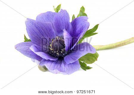 Plant Of Anemone