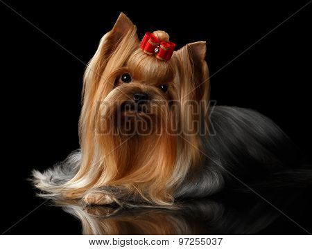 Yorkshire Terrier Dog Lying On Black Mirror