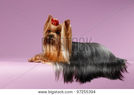 Yorkshire Terrier Dog With Long Groomed Hair Lying On White