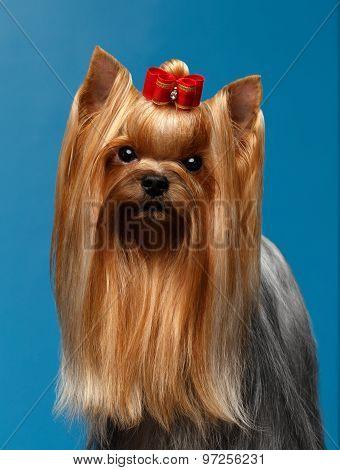 Closeup Portrait Yorkshire Terrier Dog On Blue