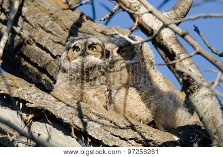 Two Adorable Young Owlets Perched In A Tree