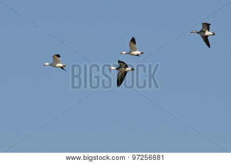 Blue Goose Flying With Snow Geese In A Blue Sky