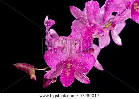 Dendrobium Pink Orchid With Dew Drop