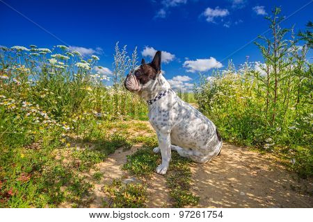 French bulldog on the walk