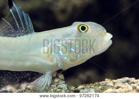 Sixspot goby - Valenciennea sexguttata, sea fish