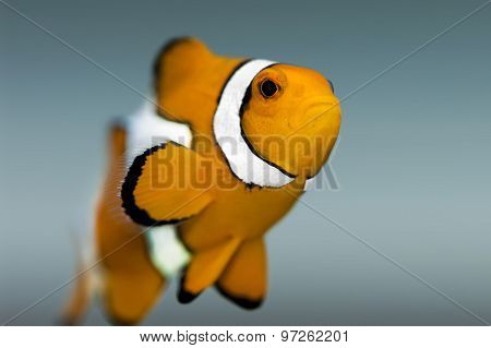 Nemo fish - Clownfish