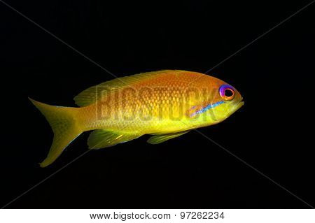 Sea goldie - Anthias -Pseudanthias squamipinnis