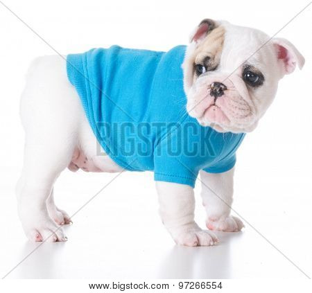 cute puppy - bulldog puppy wearing a blue sweater standing on white background 7 weeks old