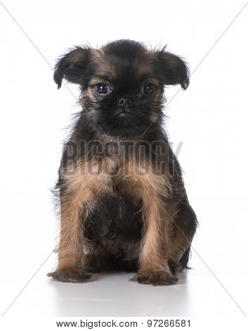 brussels griffon puppy sitting looking at viewer on white background