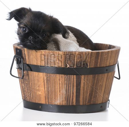 cute puppy - brussels griffon inside a wooden bucket on white background