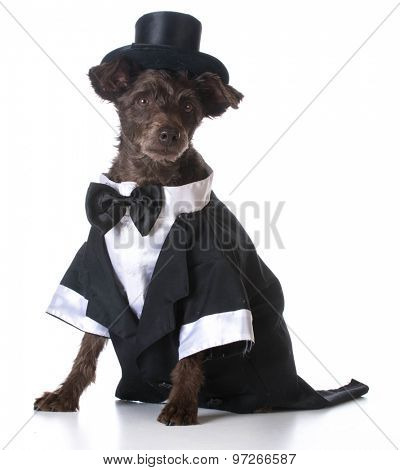 formal dog - mixed breed dog wearing tuxedo and tophat on white background